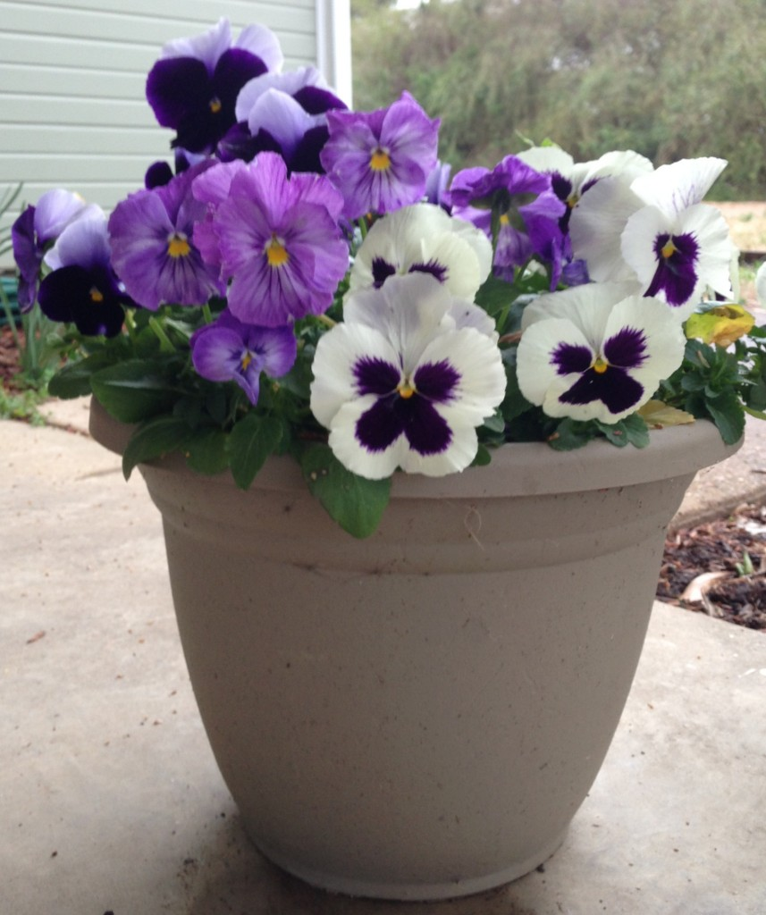 Pansies Grown in Digger's Delight