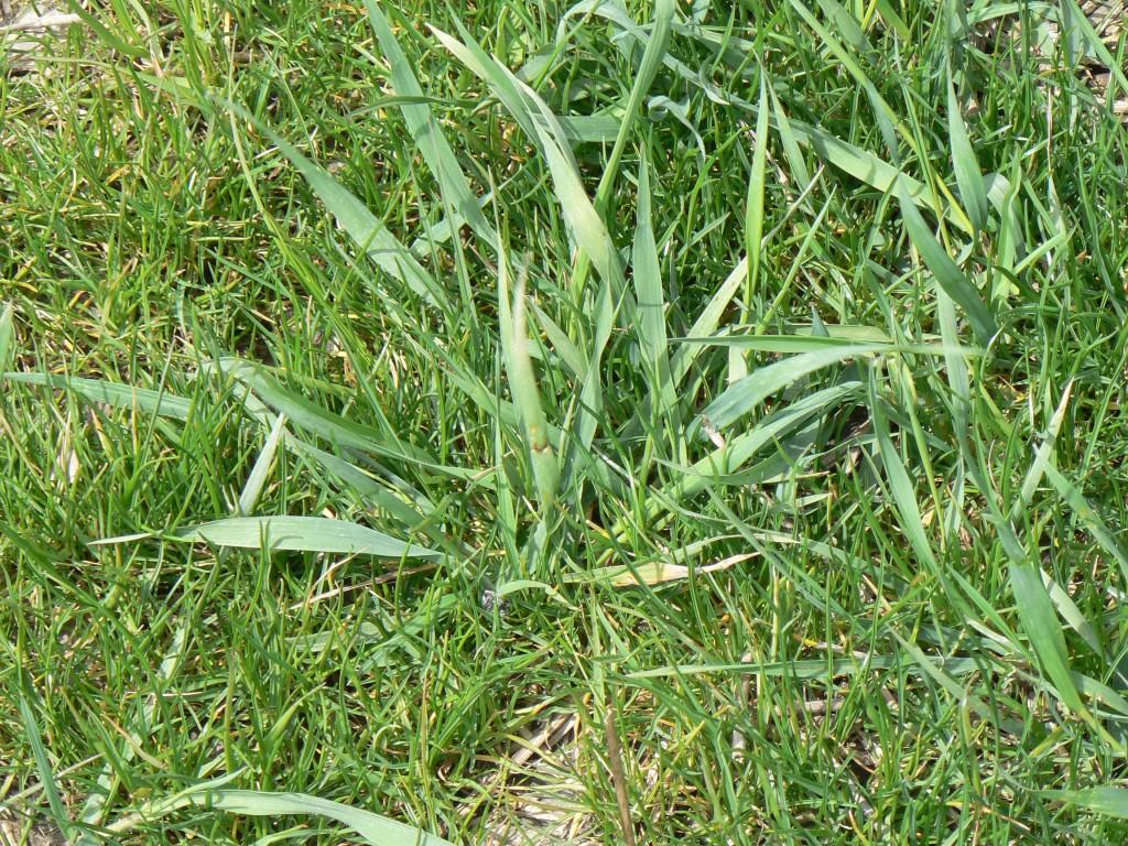 quackgrass2